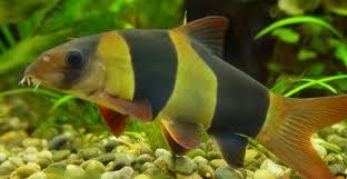 poisson clown eau douce